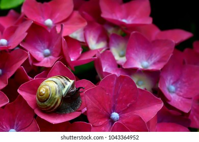 snail on red pink hydrangea flowers bush in colorful summer garden from near closeup. pink flower background of blooming hydrangeas