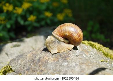 snail on the rock - Helix pomatia