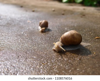 Snail on wet concrete on the move, in the background vaguely visible a little snail.
