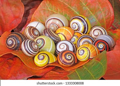 "Snail : Polymita picta or Cuban snails one of most colorful and beautiful land snails in the wolrd from Cuba , its known as ""Painted Snails"", rare, endangered species and protected."