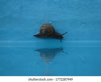 Snail in a pool closeup Dominican snail slug