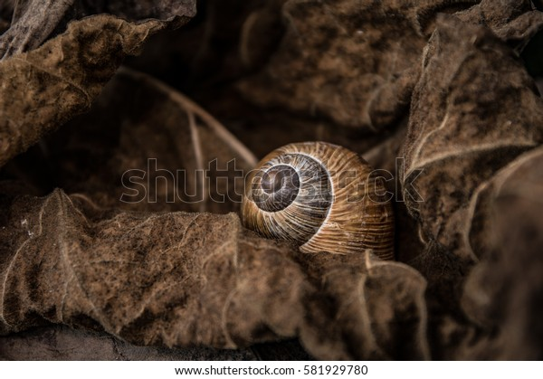A snail shell between tobacco trees, dry leaves