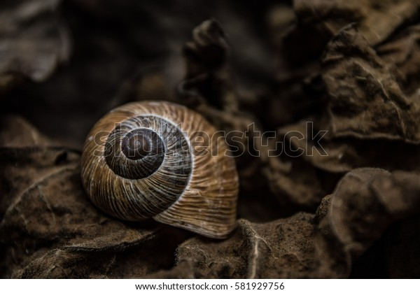 A snail shell and dry brown leaves