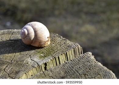 snail shell on an oak stump