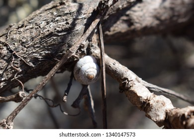 Snail shell on a parthenocissus quinquefolia plant without leaves