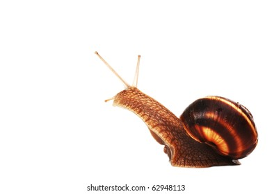 snail staring ,isolated on white background