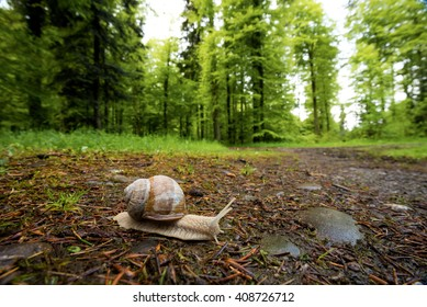 A snail travels along the forest floor across a hiking trail.
