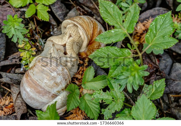 Snail wedding. Vineyard snails mate, the soles of the feet lie on each other. The animals are hermaphrodite and mostly act both as males and females and exchange sperm.