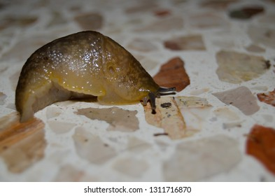 snail without shell captured on building hole during the night nature