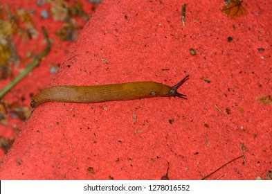 Snail without shell on the ground, open antenas, red background close up.