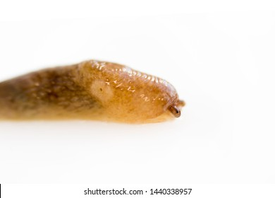a snail without a shell slug from the Gastropoda family crawls on a white background. Pest eating food in the garden