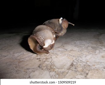 Snail without shells Achatina fulica Bekicot
