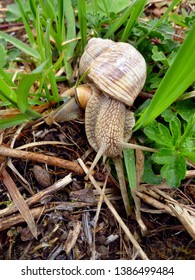 Snails gliding on the wet grass and moss texture. Large white mollusk snails with light brown striped shell, crawling. Helix pomatia, Burgundy snail, Roman snail, edible snail, escargot.