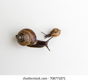 Snails isolated on white background.Snail series: snail family - mother and daughter. The daughter snail is riding the mother snail.