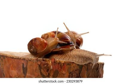 Snails on pine tree stump. Isolated on white background.