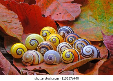 "Snails : Polymita picta or Cuban snails one of most colorful and beautiful land snails in the wolrd from Cuba , its known as ""Painted Snails"" , rare, endangered species and protected."