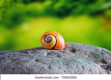 "Snails : Polymita picta or Cuban snails one of most colorful and beautiful land snails in the wolrd from Cuba , its known as ""Painted Snails"" , rare, endangered and protected.Shells"