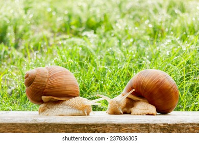 snails two big spring summer garden fresh grass drops