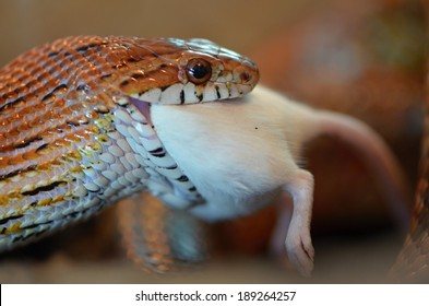 snake feed
