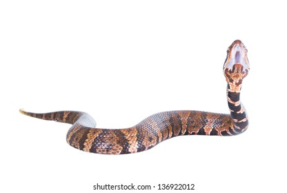 Snake  American Copperhead (Agkistrodon contortrix)  attacks.  Isolated on a white background