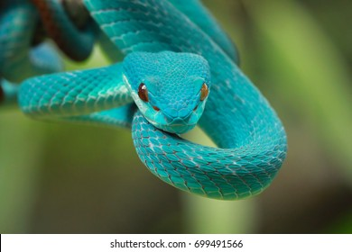 Snake, blue viper on branch