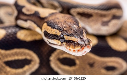 Snake boa constrictor close-up on a white background. Snake skin. Reptile