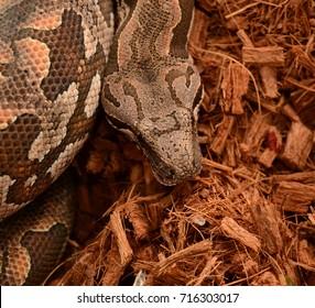 Snake boa eating rat