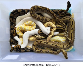 Snake in a box. A tame ball python snake is relax on human hand, the most of tame snake in exotic group.