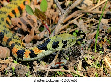A snake with bright tiger coloring (lat.Rhabdophis tigrinus lateralis). Closeup. Wild nature.