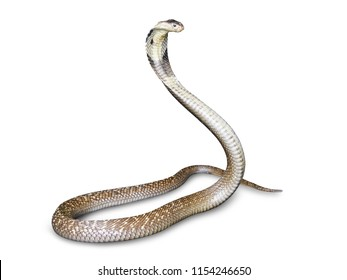 Snake cobra (Naja kaouthia) isolated on white background with clipping path. This aspic, poisonous living in Southeast Asia.