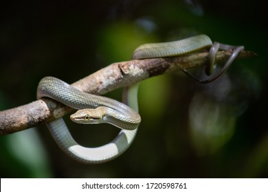 Snake coiled on a tree branch, full body, round yellow eyes, round pupil, around one meter long. Juvenile young thin individual seen wild in the jungle at Kinabatangan River area, Sabah, Malaysia