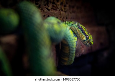 A snake coiled resting coiled