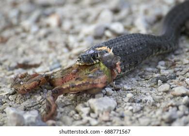 Snake common viper eats a frog