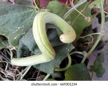 A Snake Cucumber.