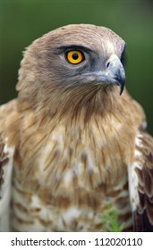 A snake eagle, closeup