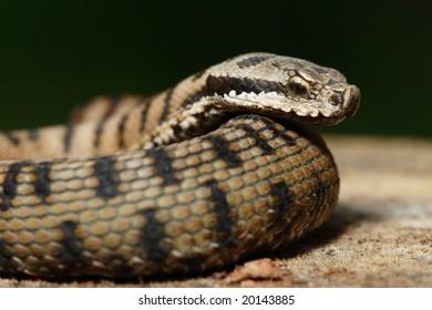 snake of europe(viper)