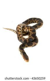 Snake, Fox, Elaphe vulpina, North America, Asia, isolated on white