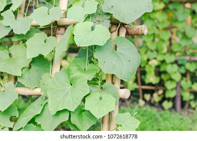 Snake gourd or Snake cucumber in vegetable garden