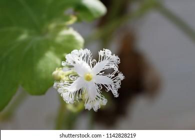 Snake gourd flower
