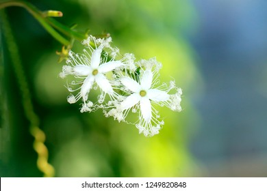 Snake gourd flower natural green background