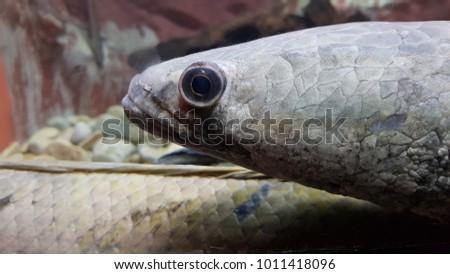 Snake Head Fish Aquarium Tank Stock Photo Edit Now 1011418096