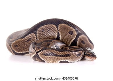 snake isolated in white background