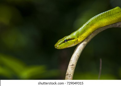 Snake in nature ,Red-Tailed Green Rat Snake