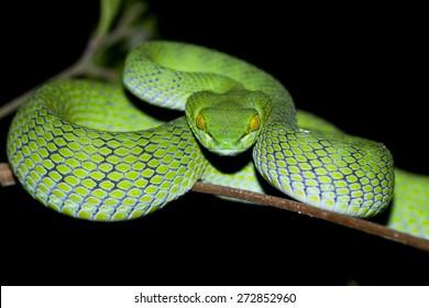 Snake in nature,Green or Asian pit viper,Trimeresurus (Viperidae)
