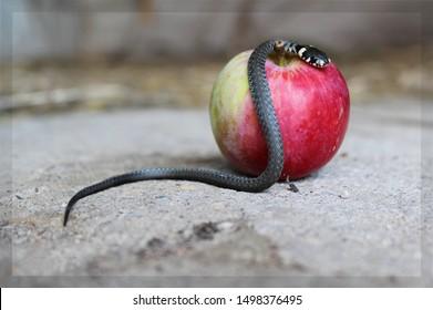 Snake on an apple. Apple temptation.