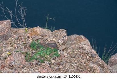 Snake on Radon Lake in a place of flooded granite quarry near the Southern Bug river in Mygiya village, Ukraine