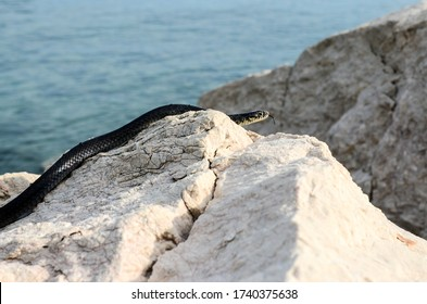 Snake on the rock on the beach. Snake head with its forked tongue near the water. Non Poisonous Green whip snake on the coast near the sea. Black snake on the cliff. Nature
