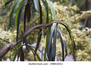 Snake on top of a tree. Indian rat snake(Ptyas mucosa) are non-venomous reptiles