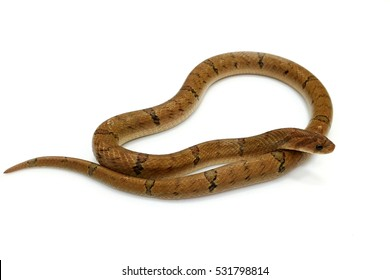 Snake on white background (Banded Kukri Snake)