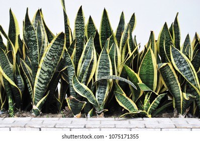Snake plant growing in front of the wall